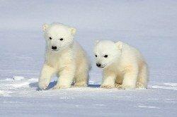 Медведь северный